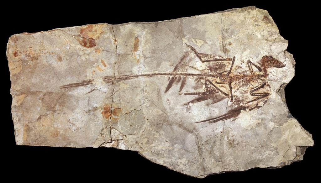 microraptor-skeleton