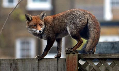 Urban Fox - Foxes Live: Wild InTheCity