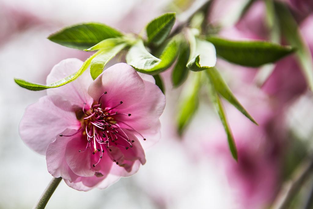 A japán kultúrát bemutató programokkal is várja vendégeit a cseresznyefa-virágzás alkalmából megrendezett szakura ünnepen a mostani és a következő hétvégén a fővárosi Füvészkert. Fotó: Horváth Péter GYula