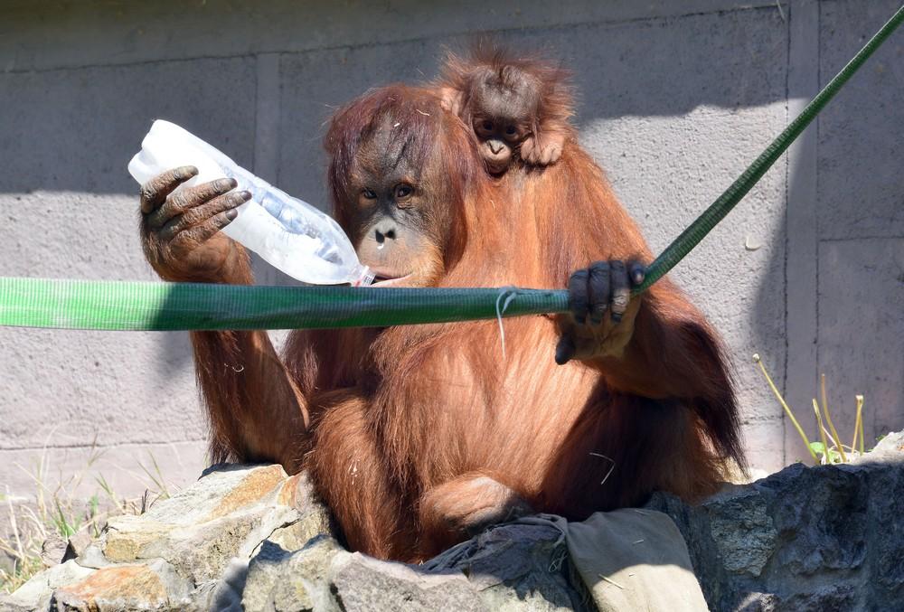 szumatrai orangutan