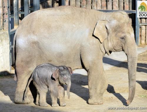 Arun lett a neve a budapesti állatkert kiselefántjának